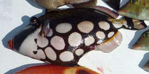 モンガラカワハギ(カワハギ科)