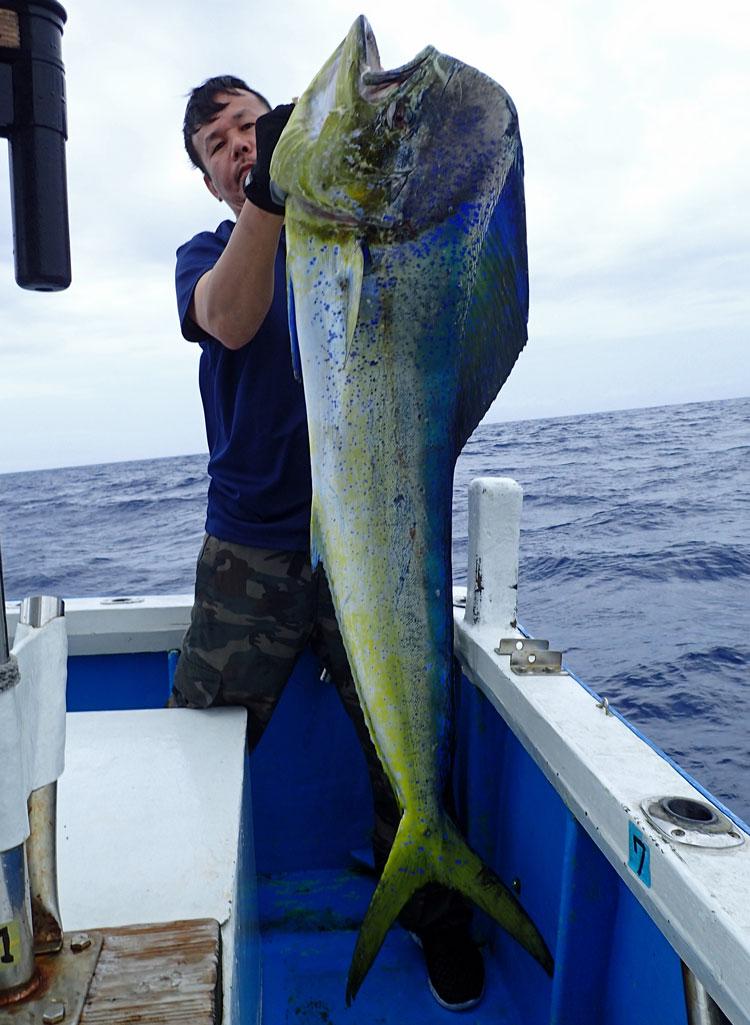 沖縄のトローリングで釣り上げた雄のシイラ