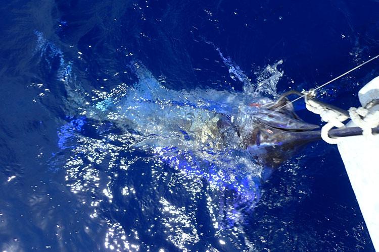 鮮やかな青色が水面下に見えるブルーマーリン(クロカジキ)