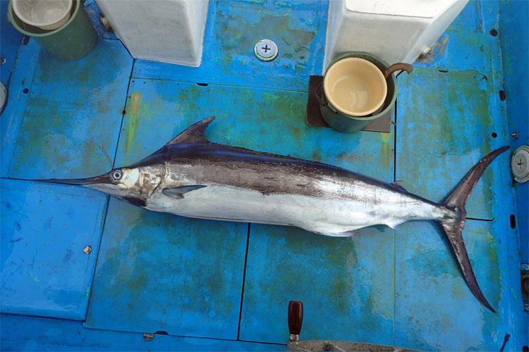 カジキトローリングでクレーンズ沖縄、鶴丸の鶴巻船長が釣り上げた50kgのカジキ