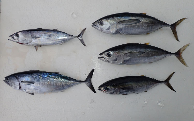 トローリングで釣れたマグロ、カツオ、スマ