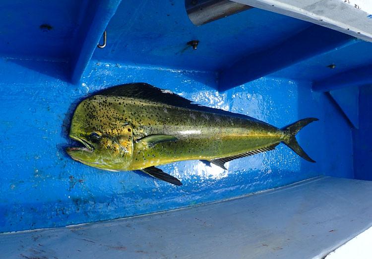 トローリングで釣り上げたシイラ