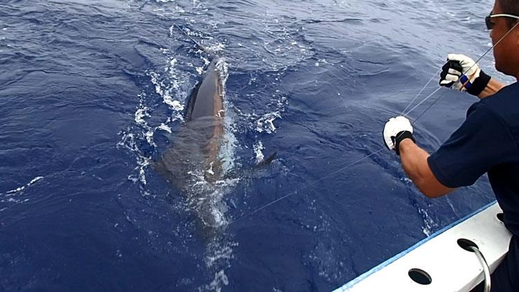 カジキ釣りでリーダーを手繰る鶴丸船長