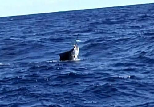 水面から上半身を出したバショウカジキ