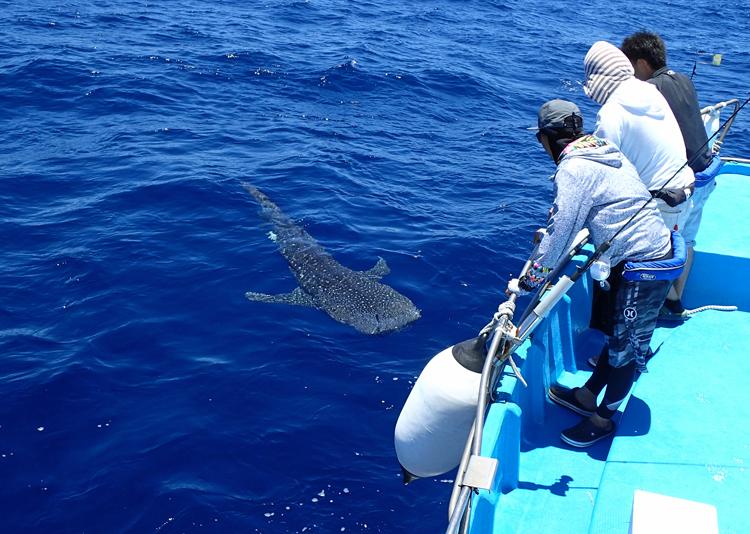 船(鶴丸)に近寄ってくるジンベイザメ