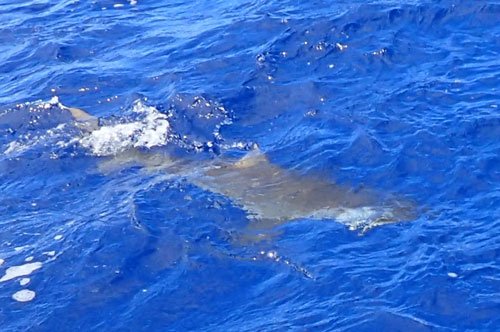 トローリングでサメ