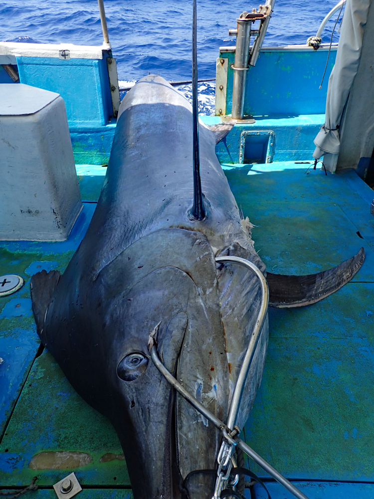 船に引き上げた270kgのブラックマーリン