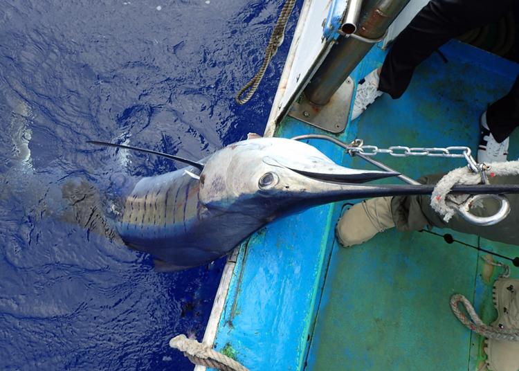 船に引き上げるバショウカジキ
