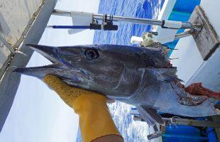サメに食われたカマスサワラ