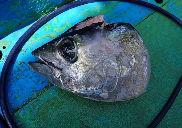 サメに食われたマグロの頭