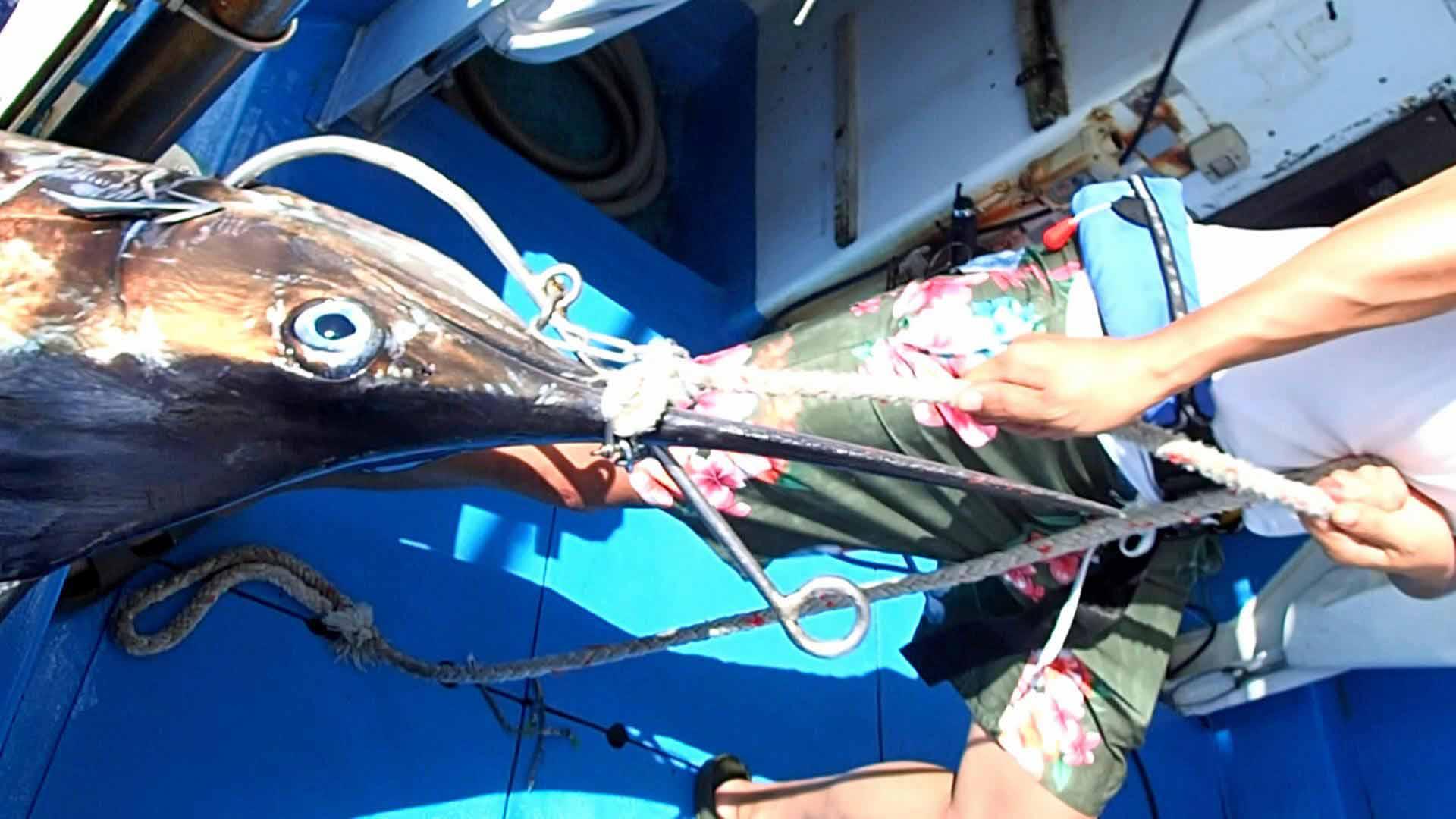 カジキを船に引き上げる熊本県の男性
