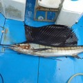sailfish fishing in okinawa japan