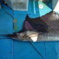 sailfish fishing in ginowan city okinawa japan
