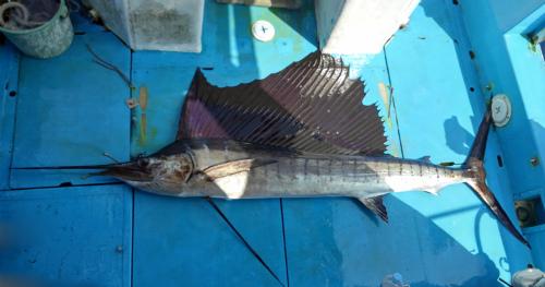 sailfish fishing in ginowan city okinawa japan