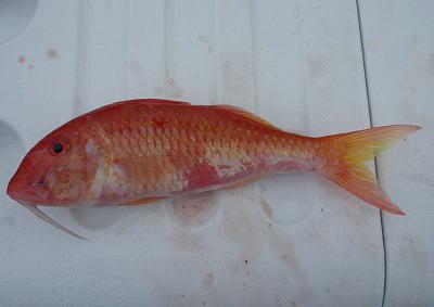 リュウキュウアカヒメジ(カタカシ) 30cm