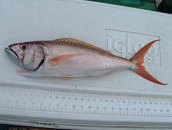 オオグチイシチビキ 58cm