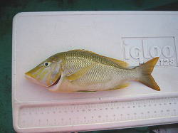 ハマフエフキ 49cm
